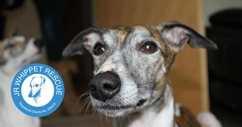 whippet rescue near me