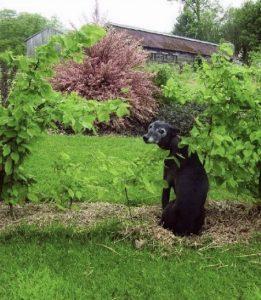 Black whippet