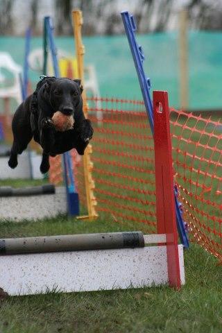 Whippet running in flyball