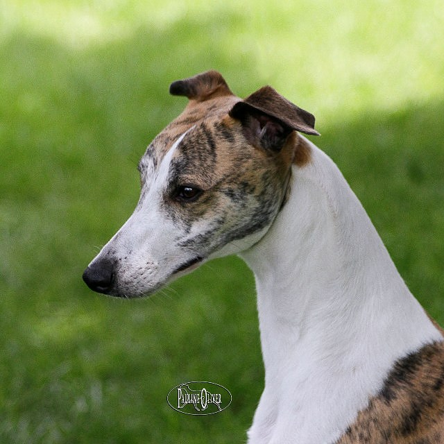 Whippet head profile