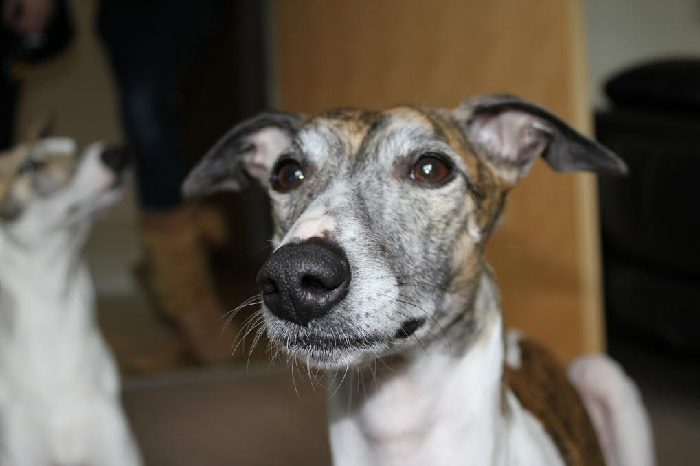 JR Whippet Rescue - Brindle and white whippet