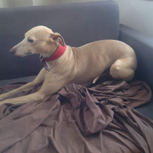 Fawn whippet on sofa