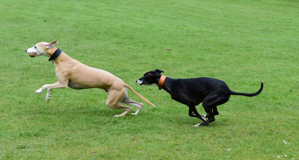 Two whippets running