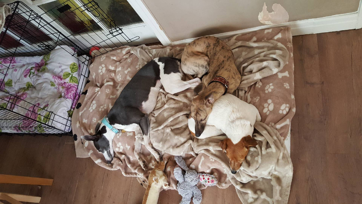 A Rescue Experience - Whippets and a Jack Russell sleeping on blanket