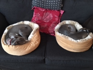 Two whippets in beds