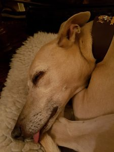 Rescue whippet Snoop sleeping